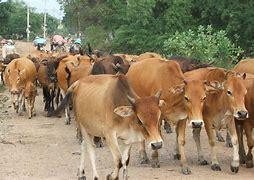 Image result for hình ảnh người nông dân dắt bò cày