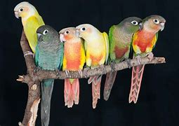 Image result for Green Cheek Conure Colors