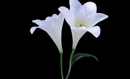 Image result for Black and White Lily Flower