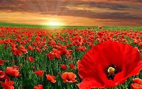 Image result for red poppy's