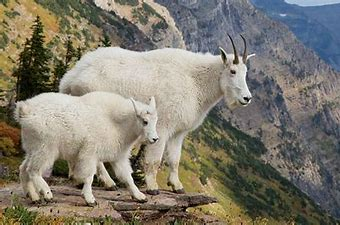 Image result for free picture of mountain goats