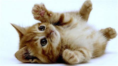 Kucingcomel Kucing Paling Comel Dan Gebu Di Dunia