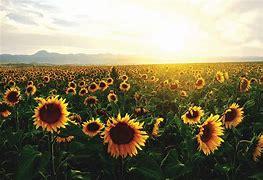 Image result for aesthetic sunflower feild