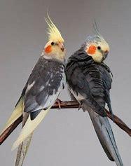 Image result for cockatiels