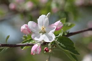 Bildresultat för äppelblom