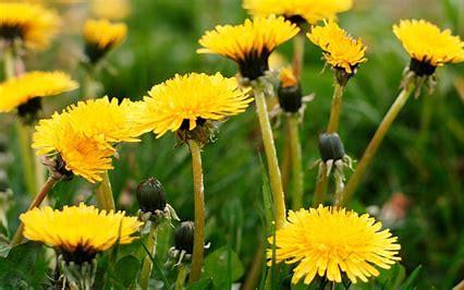Image result for dandelion