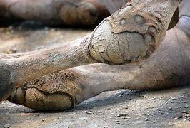 Image result for camel knees