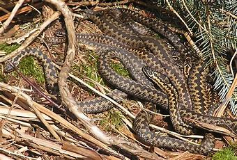 Image result for images nest of vipers