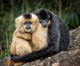 Image result for gibbon couple