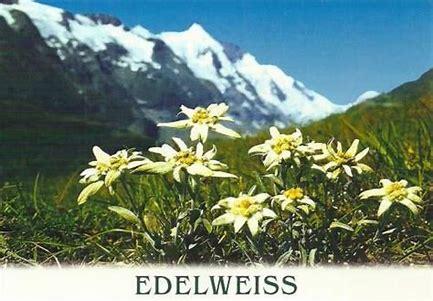 Kết quả hình ảnh cho Edelweiss Flower Legend