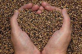 Image result for hemp seed