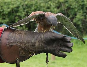 Image result for free picture of a falcon on the wrist