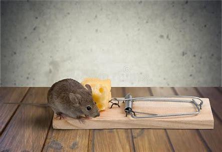 Bildresultat för råtta äter ost