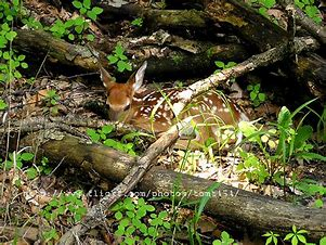 Image result for free picture of fawn hiding