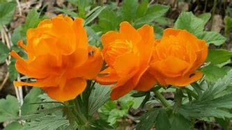 Image result for Orange Peonies