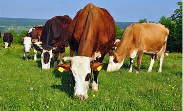 Image result for grazing cows