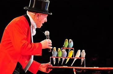Image result for performing budgies