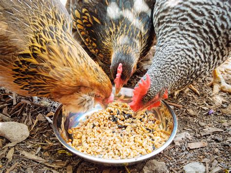 WHY AND HOW TO FERMENT YOUR CHICKEN FEED GARDEN BETTY