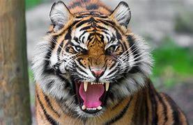 捕食者虎 に対する画像結果