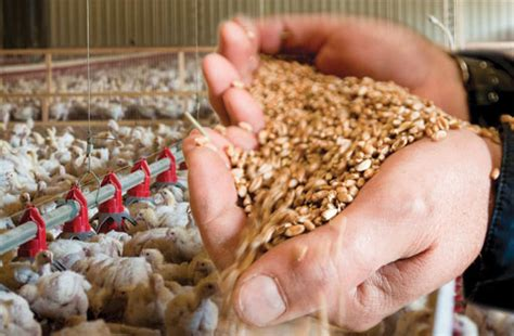 poultry feed production the profitable business idea you
