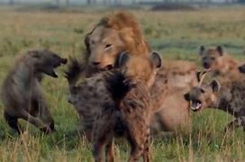 ライオンハイエナ に対する画像結果
