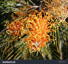 Image result for spring flowers in the australian bush photos