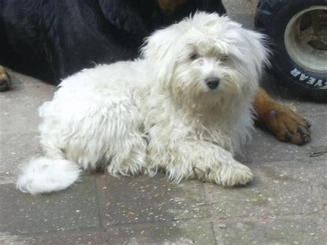 Chiot A Adopter Chiot Beagle Tout Ce Qu Il Faut Savoir Chiot Type Pinscher Nain Croises Chihuahua Seine Saint