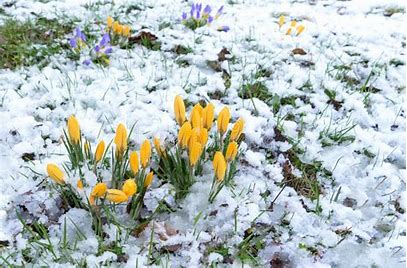 Image result for image of crocuses in the snow