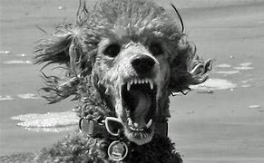 Image result for poodles biting pictures