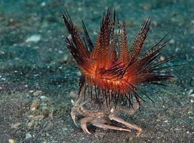 Image result for sea urchina and crabs
