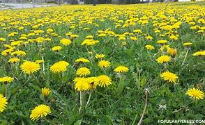 Image result for pictures of yard of blooming dandelions