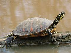 Image result for aquatic turtle