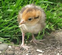 Image result for reeves pheasant chicks