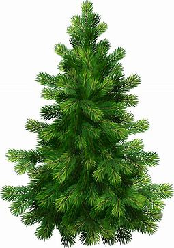Image result for pine tree image clipart