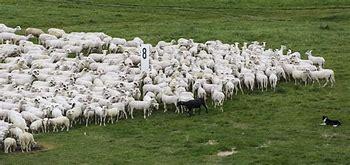 Bildresultat för fårskock