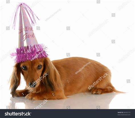 miniature long haired dachshund dog wearing stock photo