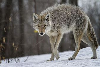 Image result for image coyotes
