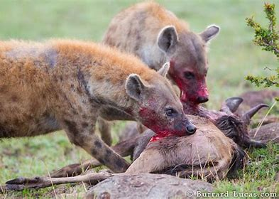 Image result for wild hyenas images
