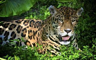 Image result for amazon rainforest jaguar