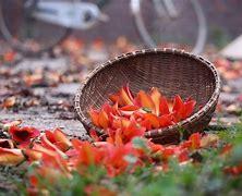 Image result for hình ảnh hoa gạo