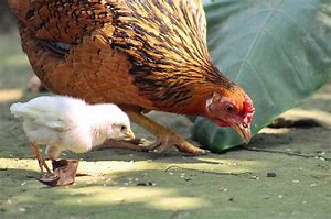 Image result for chicken hen jpeg