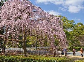 桜 揺れる に対する画像結果