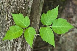 Image result for poison ivy
