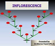 Image result for inflorescences def