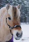 Résultat d'images pour image de poney fiord dans la neige