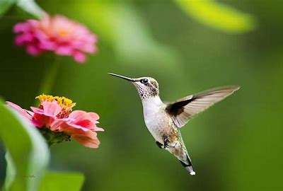 Image result for free images of hummingbirds