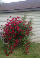 Image result for Beautiful Rose Bushes