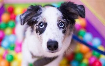 Image result for dog in ball pit