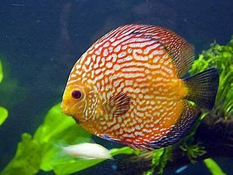 Image result for ikan discus