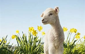 Image result for spring lambs poem